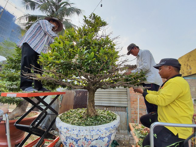 Người trồng mai ở TPHCM gấp rút tỉa lá, trâu vàng 'cõng' quất hút khách miền Tây ảnh 5