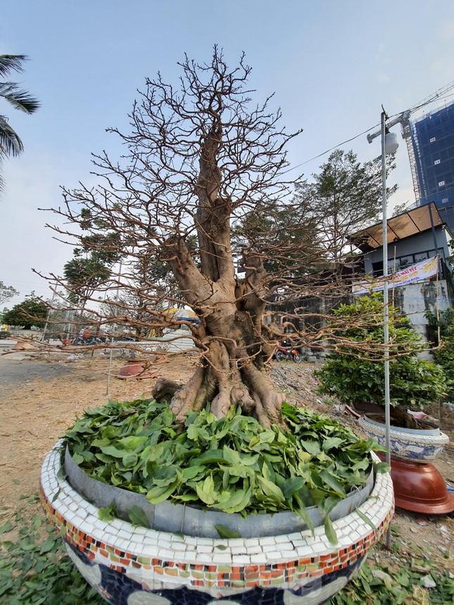 Người trồng mai ở TPHCM gấp rút tỉa lá, trâu vàng 'cõng' quất hút khách miền Tây ảnh 10
