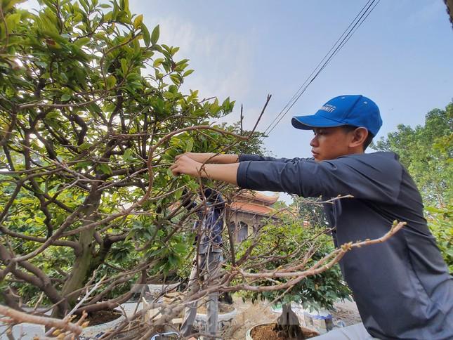 Người trồng mai ở TPHCM gấp rút tỉa lá, trâu vàng 'cõng' quất hút khách miền Tây ảnh 4