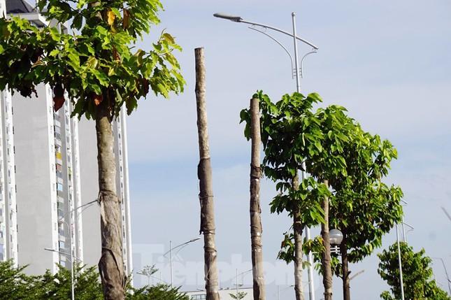 Hàng loạt cây xanh chết khô trên đường 'nghìn tỷ' ở Hà Nội ảnh 10