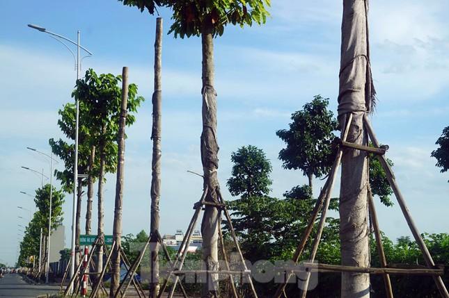 Hàng loạt cây xanh chết khô trên đường 'nghìn tỷ' ở Hà Nội ảnh 3