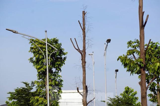 Hàng loạt cây xanh chết khô trên đường 'nghìn tỷ' ở Hà Nội ảnh 12
