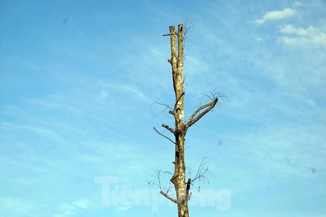 Hàng loạt cây xanh chết khô trên đường 'nghìn tỷ' ở Hà Nội ảnh 7
