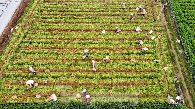 Gỡ lệnh phong tỏa, nông dân ở Hải Dương nườm nượp ra vườn nhổ bỏ nông sản ảnh 2