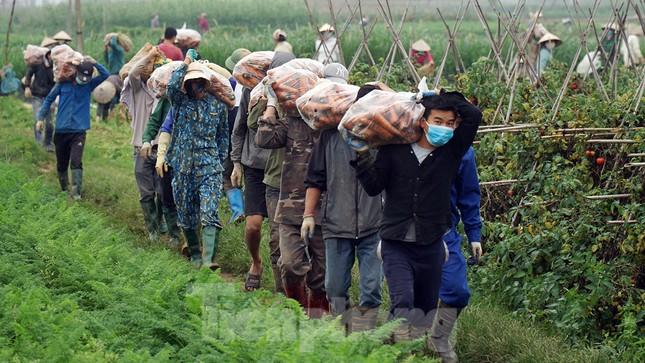 Gỡ lệnh phong tỏa, nông dân ở Hải Dương nườm nượp ra vườn nhổ bỏ nông sản ảnh 3
