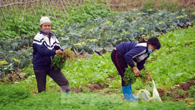 Gỡ lệnh phong tỏa, nông dân ở Hải Dương nườm nượp ra vườn nhổ bỏ nông sản ảnh 6