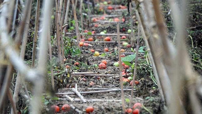 Gỡ lệnh phong tỏa, nông dân ở Hải Dương nườm nượp ra vườn nhổ bỏ nông sản ảnh 9