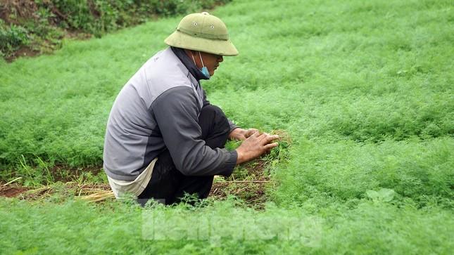 Gỡ lệnh phong tỏa, nông dân ở Hải Dương nườm nượp ra vườn nhổ bỏ nông sản ảnh 5