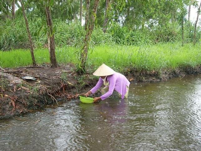 Cà Mau : Đất trồng lúa chỉ còn một nửa vào năm 2015 ảnh 1