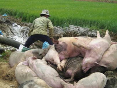 Hưng Yên: Bùng phát dịch tai xanh vì bệnh thành tích? ảnh 1