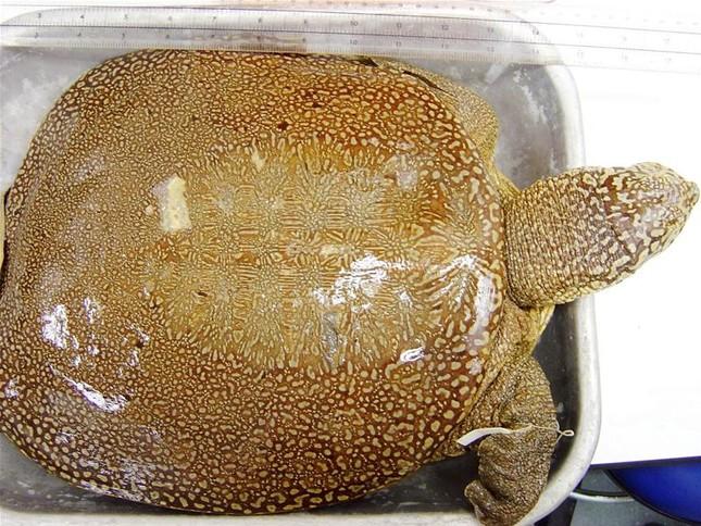 Đã xét nghiệm ADN cho cá thể rùa hồ Đồng Mô ảnh 1