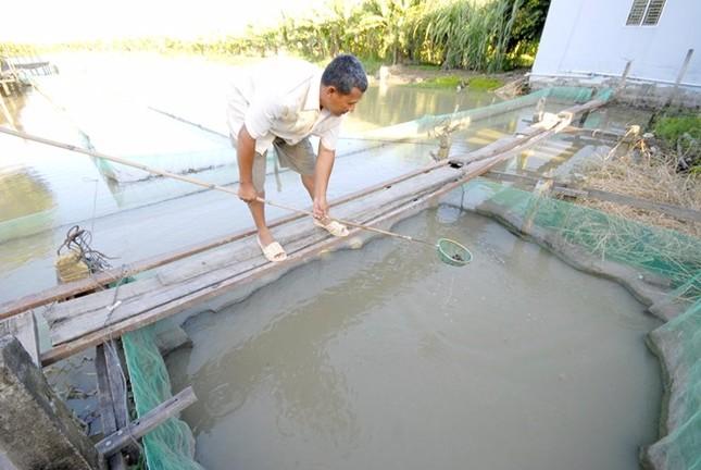 Nông dân miền Tây được mùa cá lóc ảnh 2