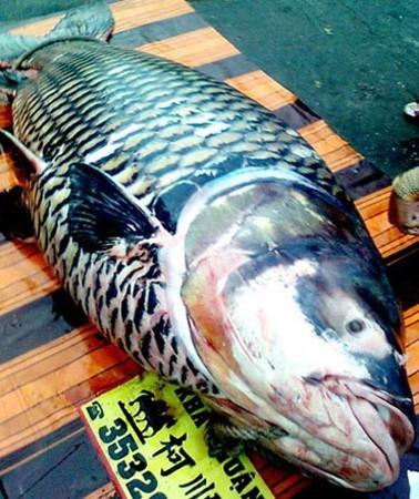 Săn cá khủng giá hàng chục triệu đồng ở miền Tây ảnh 10