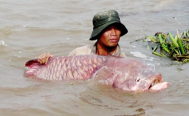 Săn cá khủng giá hàng chục triệu đồng ở miền Tây ảnh 11