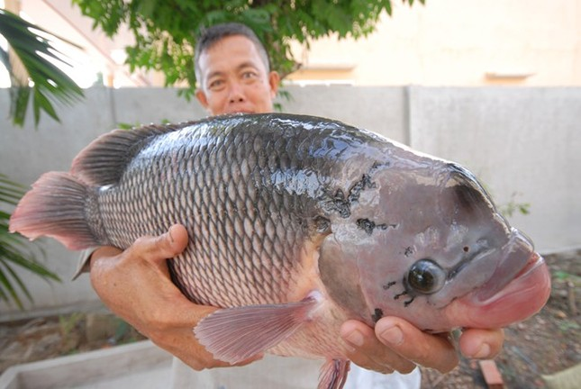 Săn cá khủng giá hàng chục triệu đồng ở miền Tây ảnh 14