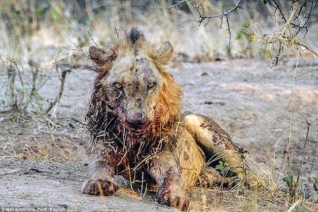 [ẢNH] Cuộc chiến 'một mất một còn' giữa trâu rừng và sư tử ảnh 10