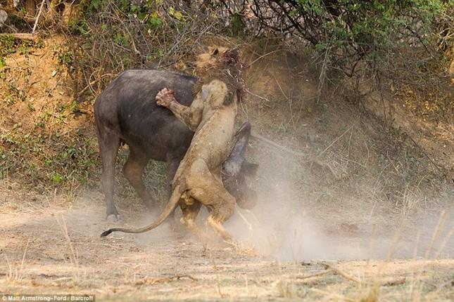 [ẢNH] Cuộc chiến 'một mất một còn' giữa trâu rừng và sư tử ảnh 2