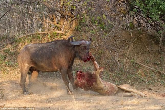 [ẢNH] Cuộc chiến 'một mất một còn' giữa trâu rừng và sư tử ảnh 4