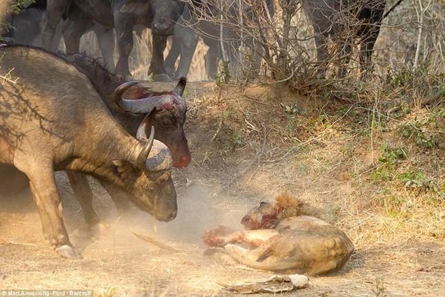 [ẢNH] Cuộc chiến 'một mất một còn' giữa trâu rừng và sư tử ảnh 7