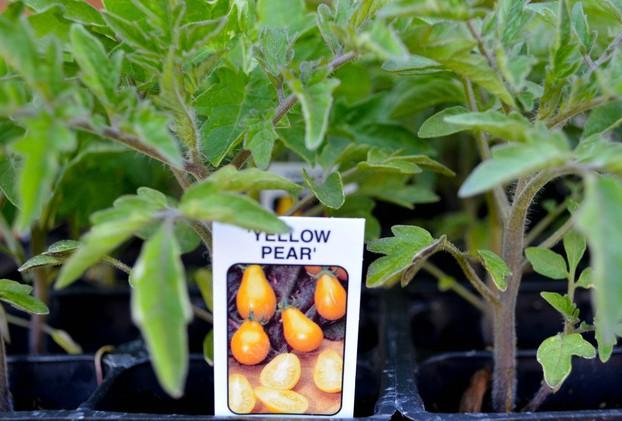 Cà chua bi hình trái lê hớp hồn bà nội trợ ảnh 11