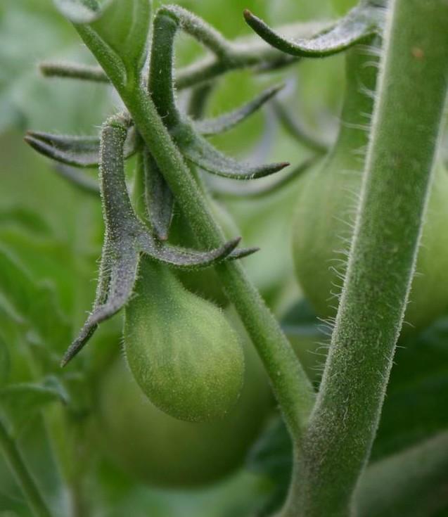 Cà chua bi hình trái lê hớp hồn bà nội trợ ảnh 12