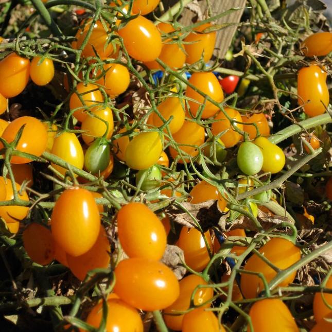 Cà chua bi hình trái lê hớp hồn bà nội trợ ảnh 14