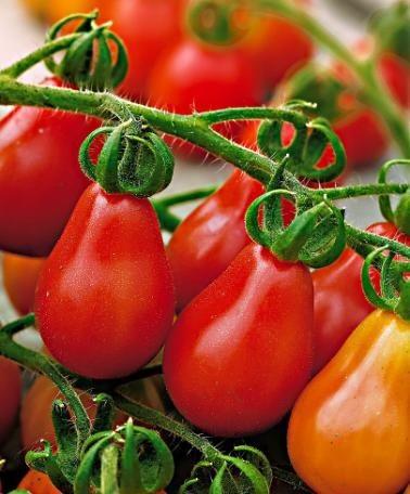 Cà chua bi hình trái lê hớp hồn bà nội trợ ảnh 6