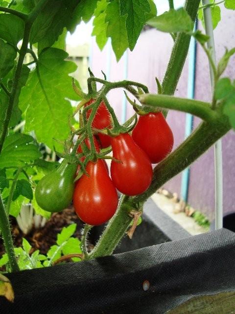 Cà chua bi hình trái lê hớp hồn bà nội trợ ảnh 9