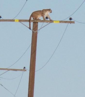 Báo sư tử vắt vẻo trên cột điện cao 10 mét ảnh 1
