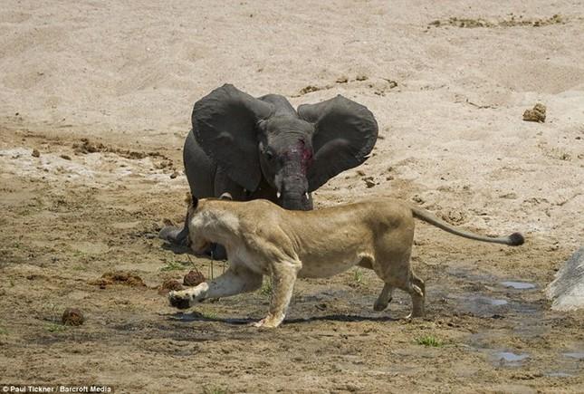 Voi con chết thảm khi lọt vòng vây của sư tử đói ảnh 5