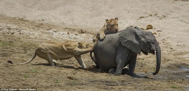 Voi con chết thảm khi lọt vòng vây của sư tử đói ảnh 6