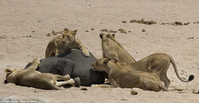 Voi con chết thảm khi lọt vòng vây của sư tử đói ảnh 7