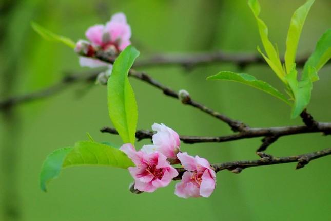 Ngỡ ngàng hoa đào trái vụ đẹp mê hồn ở Tây Bắc ảnh 2