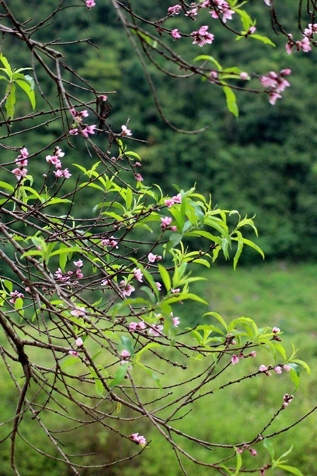 Ngỡ ngàng hoa đào trái vụ đẹp mê hồn ở Tây Bắc ảnh 3