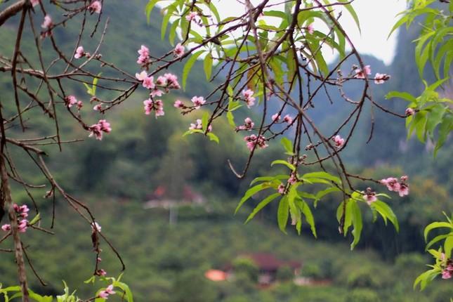 Ngỡ ngàng hoa đào trái vụ đẹp mê hồn ở Tây Bắc ảnh 4