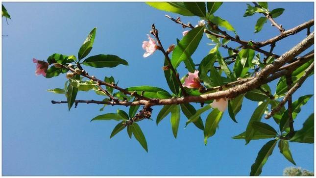Ngỡ ngàng hoa đào trái vụ đẹp mê hồn ở Tây Bắc ảnh 1