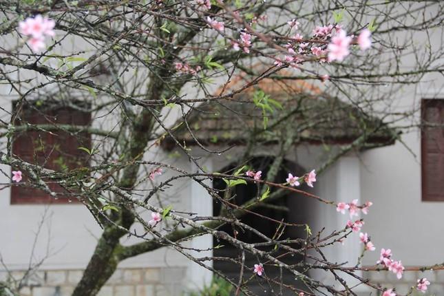 Ngỡ ngàng hoa đào trái vụ đẹp mê hồn ở Tây Bắc ảnh 7