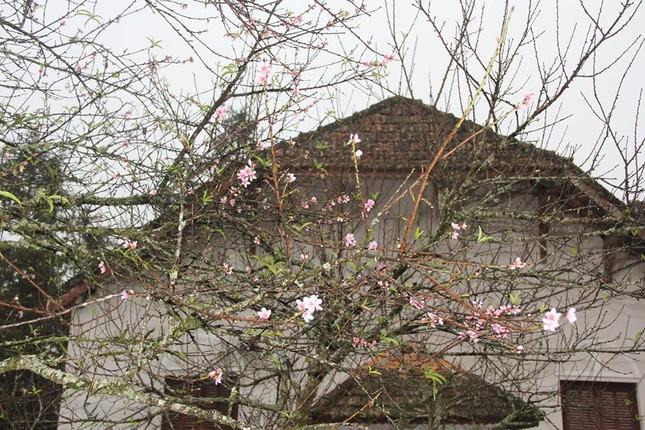 Ngỡ ngàng hoa đào trái vụ đẹp mê hồn ở Tây Bắc ảnh 8