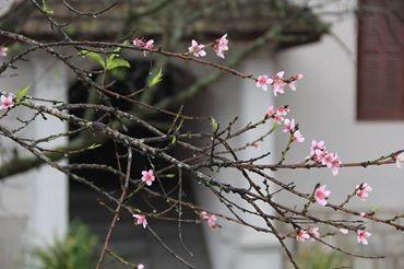 Ngỡ ngàng hoa đào trái vụ đẹp mê hồn ở Tây Bắc ảnh 6