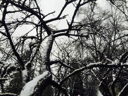 Đào tết Sa Pa tàn lụi vì băng tuyết ảnh 4