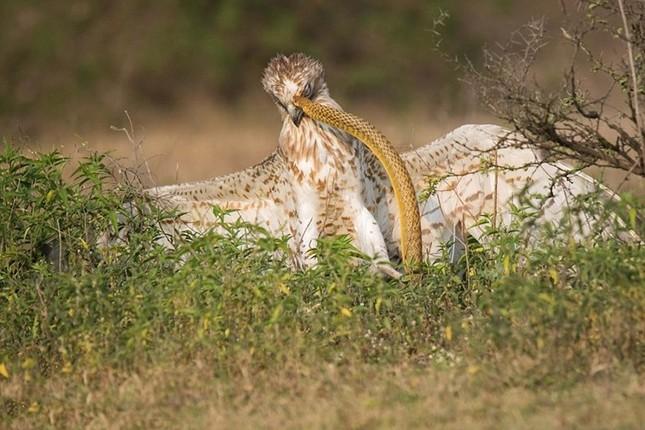 Cuộc ác chiến dữ dội giữa đại bàng và rắn độc ảnh 1