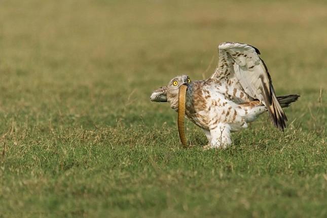 Cuộc ác chiến dữ dội giữa đại bàng và rắn độc ảnh 9