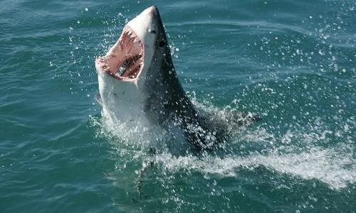 Dự án biến cá mập thành ngư lôi sống của Hải quân Mỹ ảnh 1
