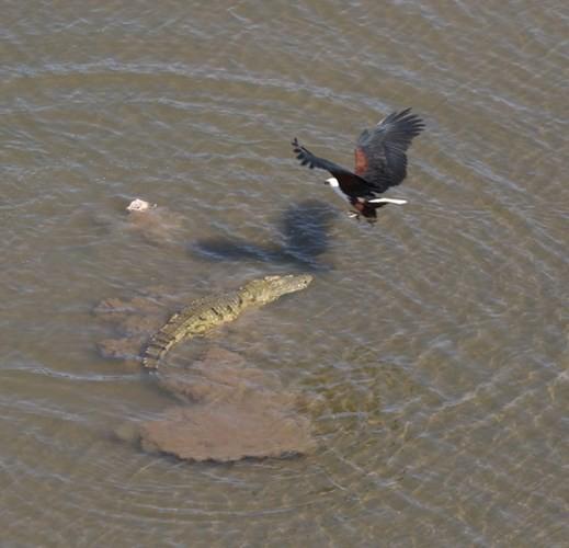 Cận cảnh ưng biển liều mạng cướp mồi từ hàm cá sấu ảnh 2