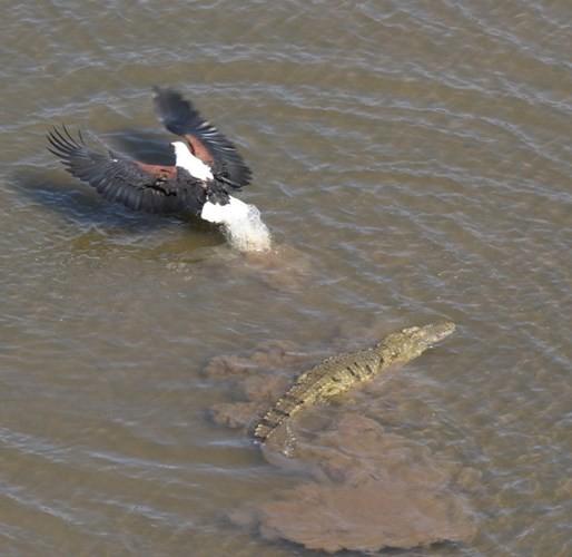 Cận cảnh ưng biển liều mạng cướp mồi từ hàm cá sấu ảnh 3