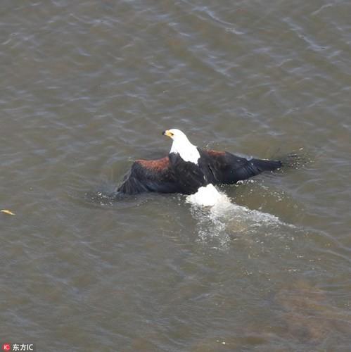 Cận cảnh ưng biển liều mạng cướp mồi từ hàm cá sấu ảnh 4
