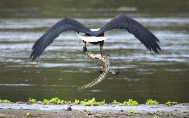 Cận cảnh ưng biển liều mạng cướp mồi từ hàm cá sấu ảnh 7