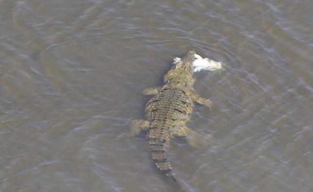 Cận cảnh ưng biển liều mạng cướp mồi từ hàm cá sấu ảnh 1