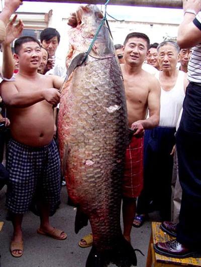 Bí ẩn trắm đen khổng lồ, nặng 3 tạ ở sông Kinh Môn ảnh 2
