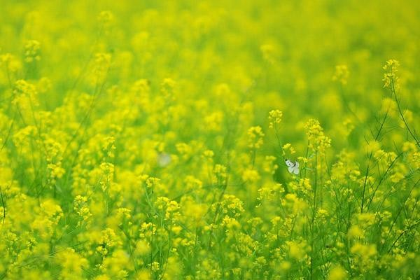 Những địa điểm chụp hoa cải đẹp tại Hà Nội giới trẻ phải biết ảnh 2